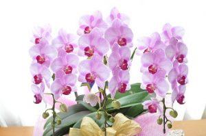 胡蝶蘭|敬老の日に合う花言葉