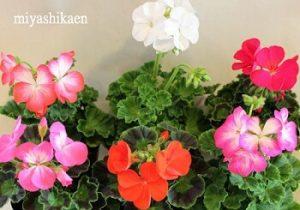 ゼラニウム|敬老の日に合う花言葉