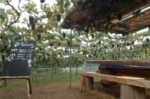 山梨県のぶどう畑土と実のぶどう