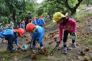 中津川マロンパーク「いが栗の里」で栗拾いをする子供