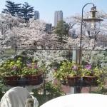 花見ランチや夜桜ディナーが楽しめる六本木のレストランを紹介!