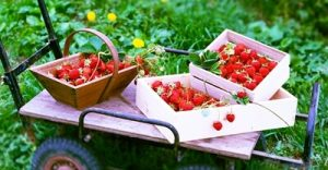 イチゴ狩りの体験