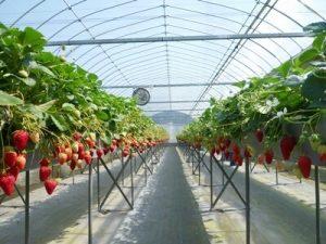 イチゴ狩りの農園の様子