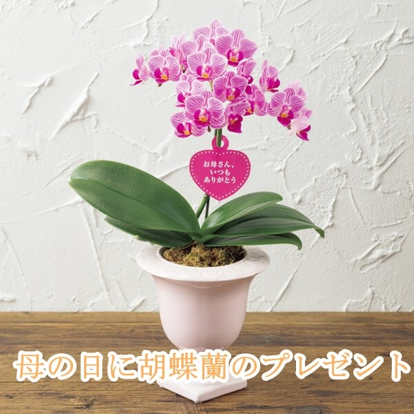 母の日の胡蝶蘭のプレゼント