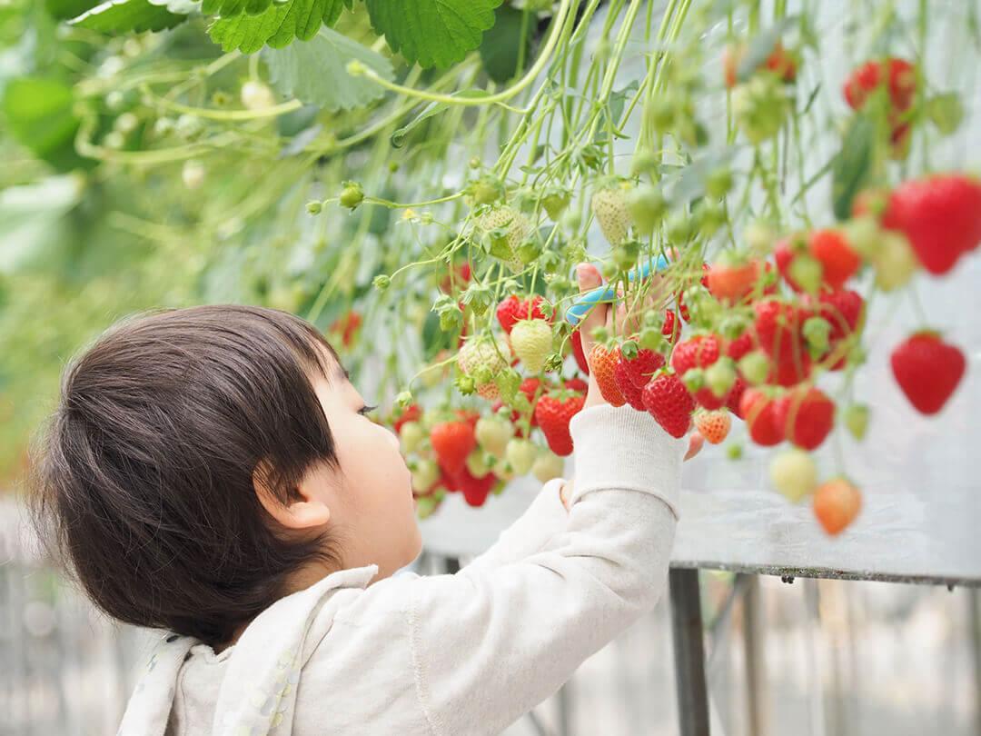 イチゴ狩りをする男の子
